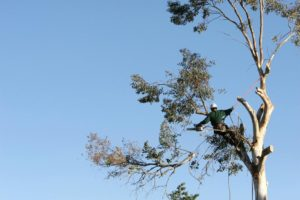 this image shows one of our tree surgeon or arborist performing maintenance and tree care in Jordan, UT